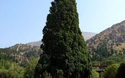 درخت سرو هرزویل